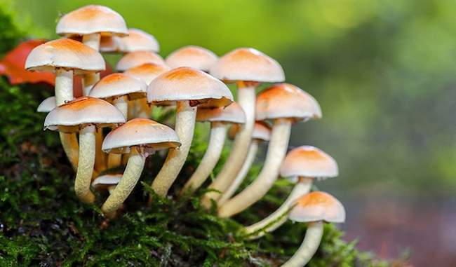 People who do not eat mushrooms will also start eating, knowing the benefits of its sting, these diseases are eliminated from the root